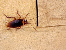 The American cockroach (shown) is the most common cockroach found in Erie, PA.  Preventative Pest Control Services offered by Bigfoot Pest Control will help to keep your home or business free from these pests.