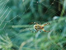 The common garden spider shown here is not poisonous, but frightening looking.  This type of spider reproduces by laying eggs upwards of 100 at a time.  It's best to take care of this type of pest as soon as you notice it to avoid an infestation.