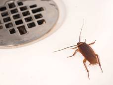 The American cockroach (shown) is the most common cockroach found in Erie, PA.  Preventative Pest Control Services offered by Bigfoot Pest Control will help eliminate cockroaches from your home.