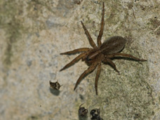 Wolf spiders nest in garages, sheds and attics.  Sometimes they can be found in other living spaces. Professional pest control services will help to eliminate them.