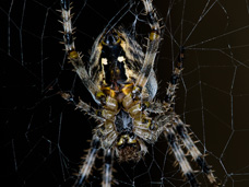 The common garden spider lays hundreds of eggs in the beginning of summer each year.