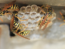 Paper Wasps making a next under the homeowner's deck.