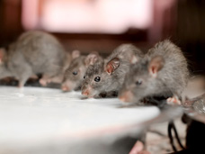 Rodent or mouse infestations (such as the one shown) can cause disease and damage to adults, kids or their belongings.  Bigfoot Pest Control Services exterminates existing rodents and mice and their preventative maintenance helps to keep your residential or commercial building rodent-free.