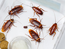 Cockroaches (shown) multiply rapidly and spread germs and disease.  Bigfoot Pest Control Services will exterminate these existing cockroaches and their preventative maintenance services will prevent them from coming back.