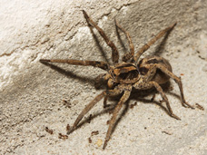 The very frightening looking wolf spider can get quite large and like to nest in garages, sheds and attics.  While they are not poison, they make most people very uncomfortable due to their size and appearance.  Sometimes they can be found in other living spaces. Professional pest control services will help to eliminate them.